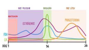Gráfico de las fases del ciclo menstrual: fase folicular, ovulación, fase lútea