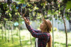 La magia del enoturismo. Mujer cogiendo uva